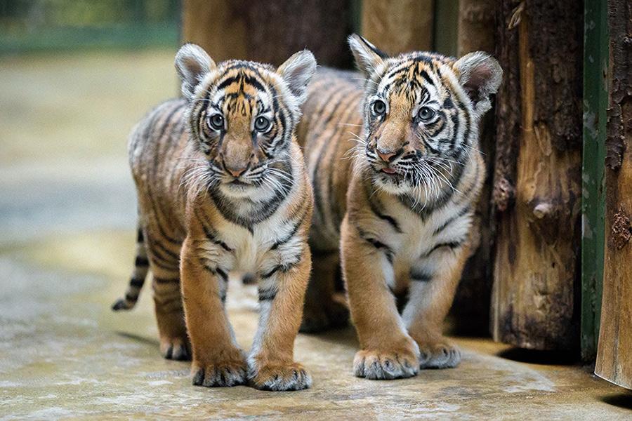 picture LAURA A JEJÍ TYGŘI - koncert pro tygry